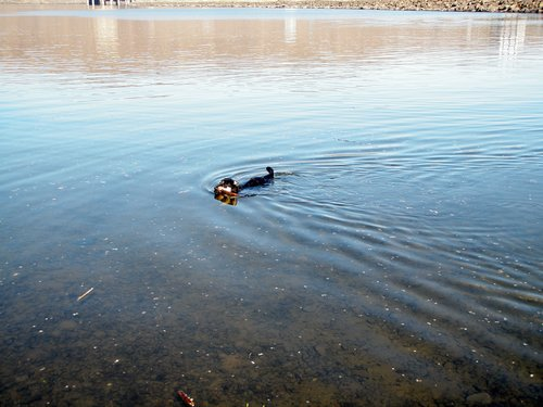 Boomer swimming in the Columbia River