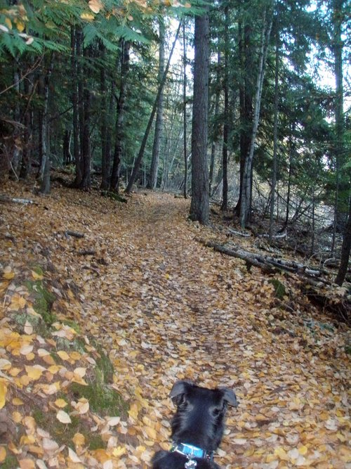 Boomer walking on the leaf covered Gold Hill Trail
