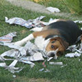 Dog lies on torn-up newspaper.