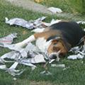 Dog lies on torn-up newspaper.