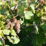 le-txakoli-vigne-pays-basque