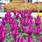 jardinerie-endanea-espace-fleurs-fontarrabie-pays-basque-pais-vasco