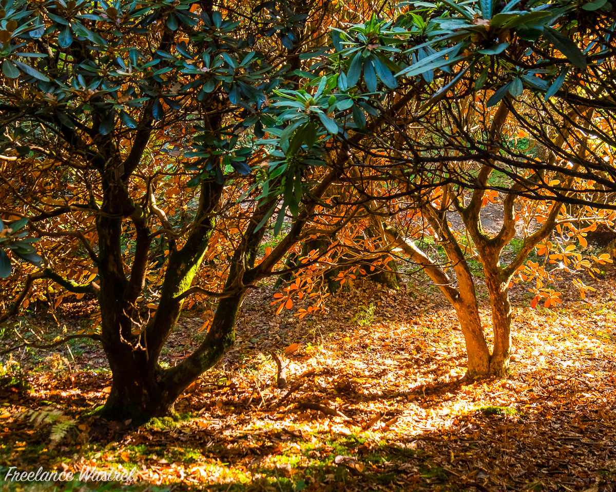 Rhododendrons, Wakehurst Place, November 2017
