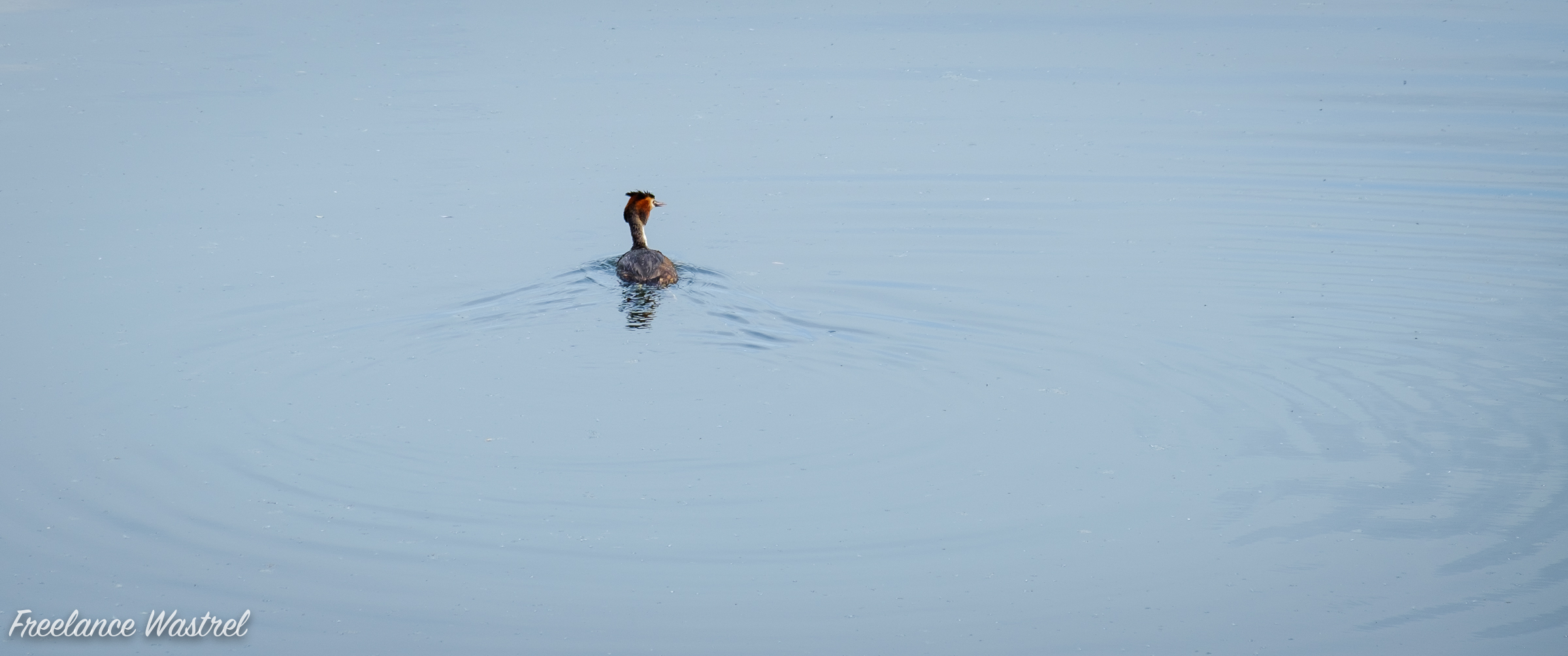 Great Crested Grebe, Attenborough Nature Reserve
