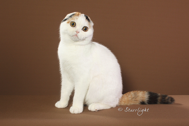 Whitney - Scottish Fold