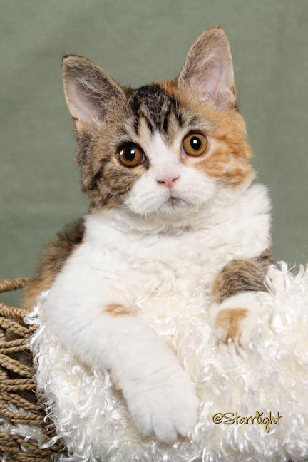 Terra - Selkirk Rex kitten
