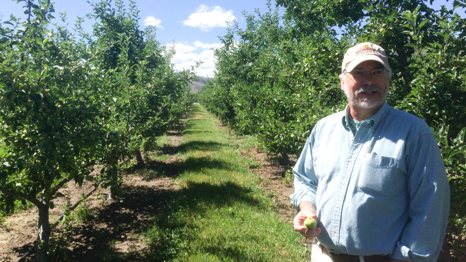 Frank Peryea, Washington State University professor emeritus, shows off apples that have been infested by coddling moth caterpillars on an experimental plot at the university's Tree Fruit Research & Extension Center. Photo by Tony Schick/OPB/EarthFix