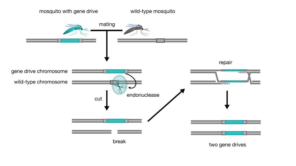 gene-drive-schematic