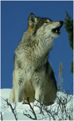 Wolf, howling confrontational howl