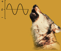 Diagram of sound wave next to photo of wolf howling