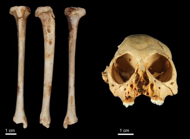 monkey fossil shin bone
