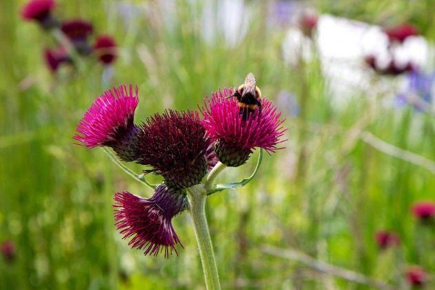 Chelsea Flower Show garden bees on Cirsium