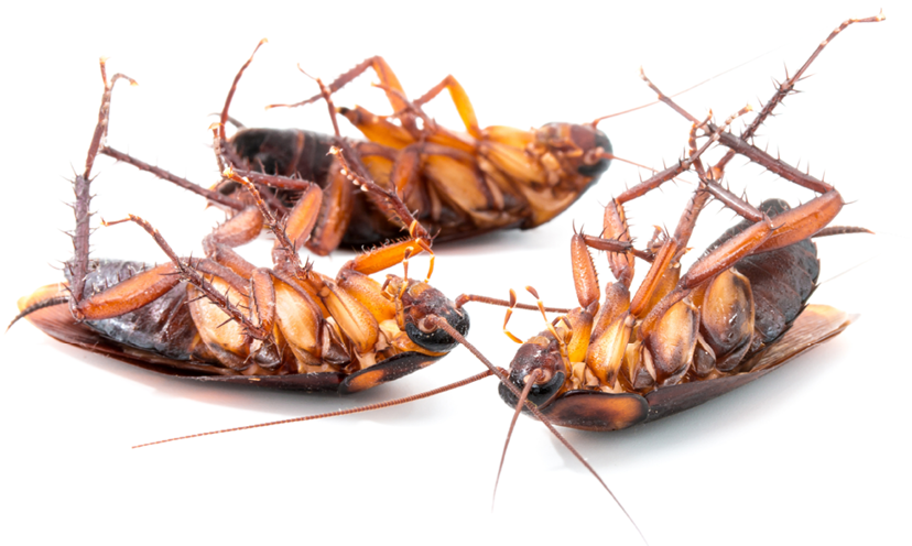 Diversifying Cockroach Management Strategies Pct Pest Control Technology