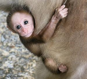 This baby monkey has nothing to do with workers' compensation at all.