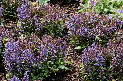 Ajuga_Blueberry_Muffin_Landscape_21030 Ball photo