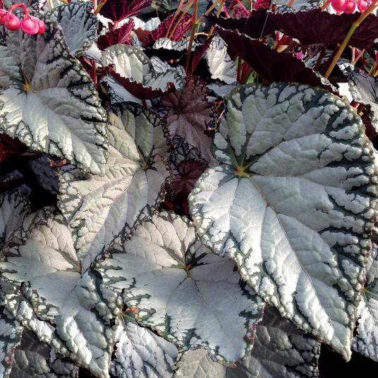 Begonia-Silver-Lace-2