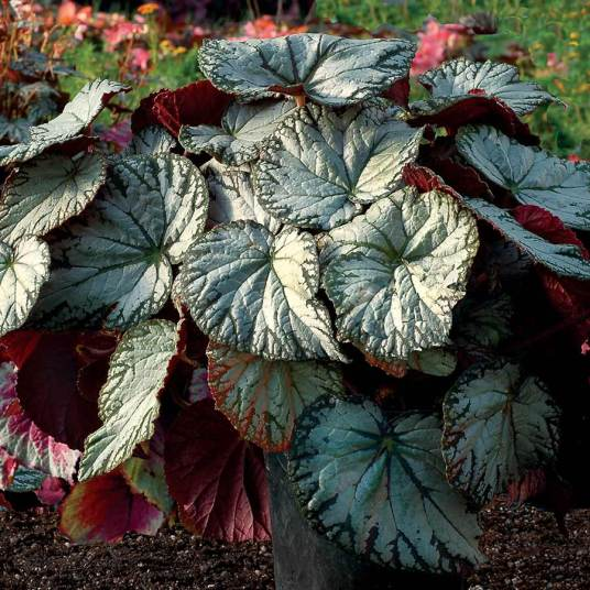Begonia-Silver-Lace-4