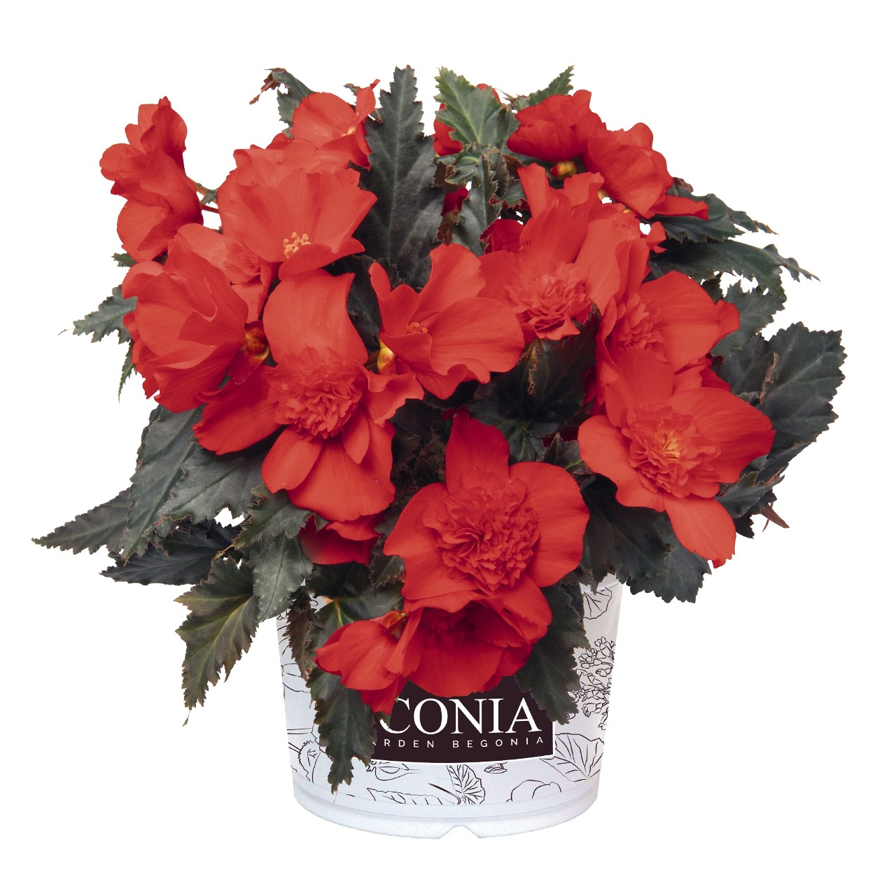 Begonia I'Conia Red
