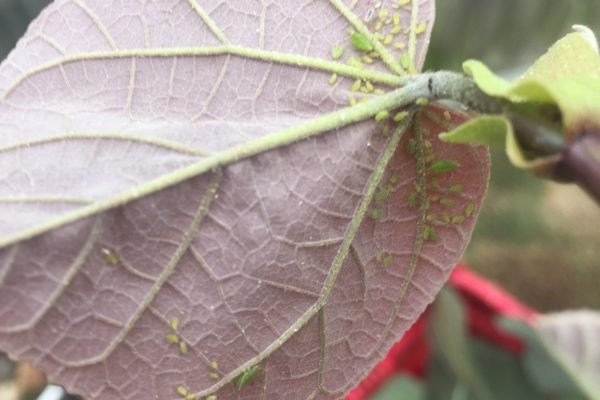 Aphids on hibscus