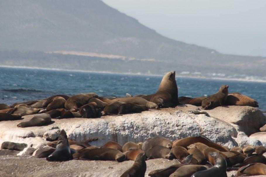 Image result for Duiker island: Cape fur seals