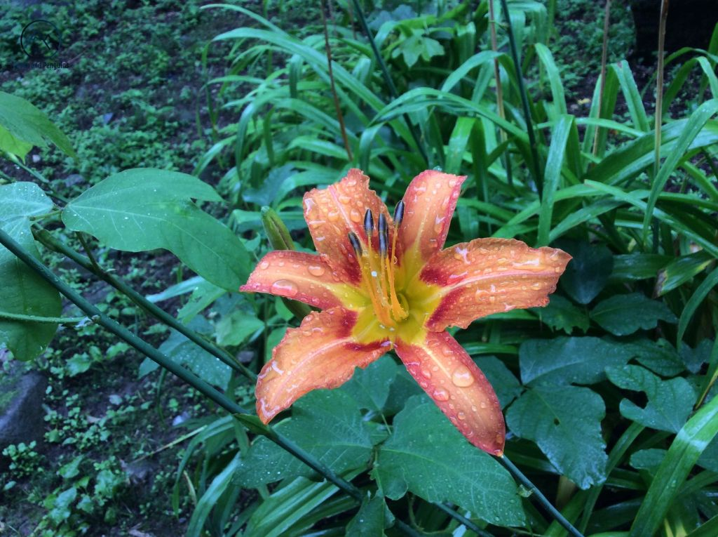 A close-up image of a wild tiger lily. Its petals are bright yellow in the center, tinged with red in the middle and fade to a light orange at the edges. The face of the flower is covered with shiny droplets of water.