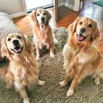 Weekend: Golden Retriever Summer Camp + Sushi & Donuts