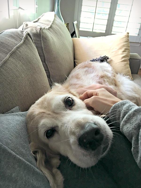 Golden Retriever Couch