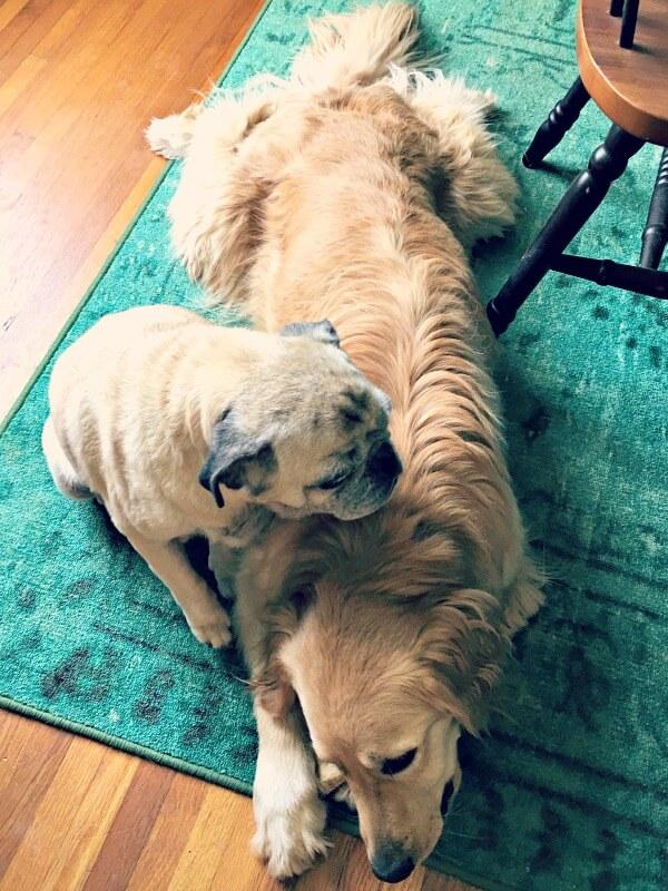 Golden retriever and pug