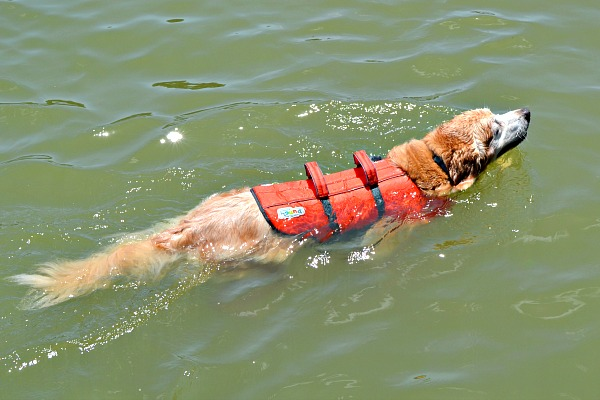 golden retriever life jacket