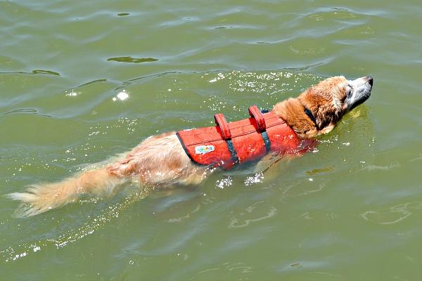 golden retriever life jacket