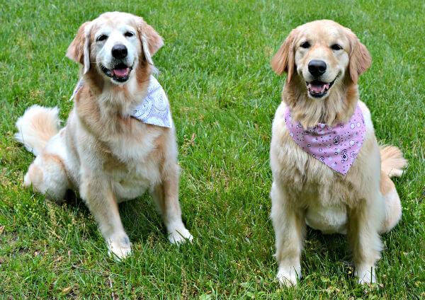 golden retrievers after grooming