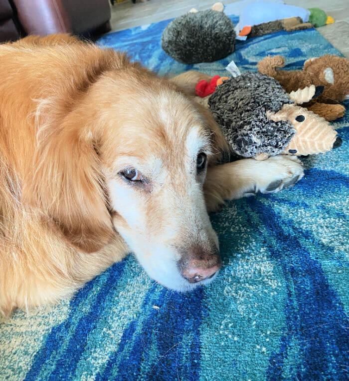 14 year old golden retriever