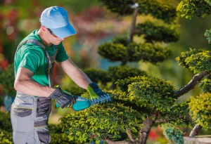 Picture of Topiary Gardener Plant Shaper at Work. Professional Gardener in the Beautiful Garden Full of Fancy Trees.