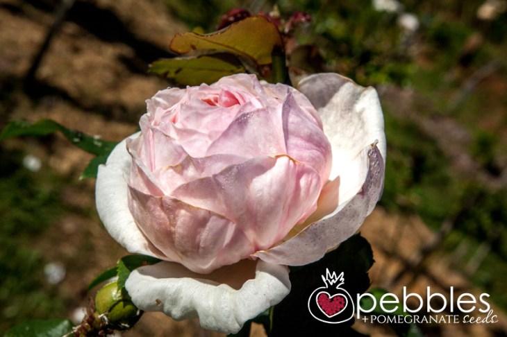organica-floret-roses9