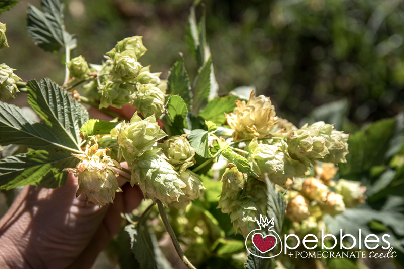red-hill-brewery-hop-picking