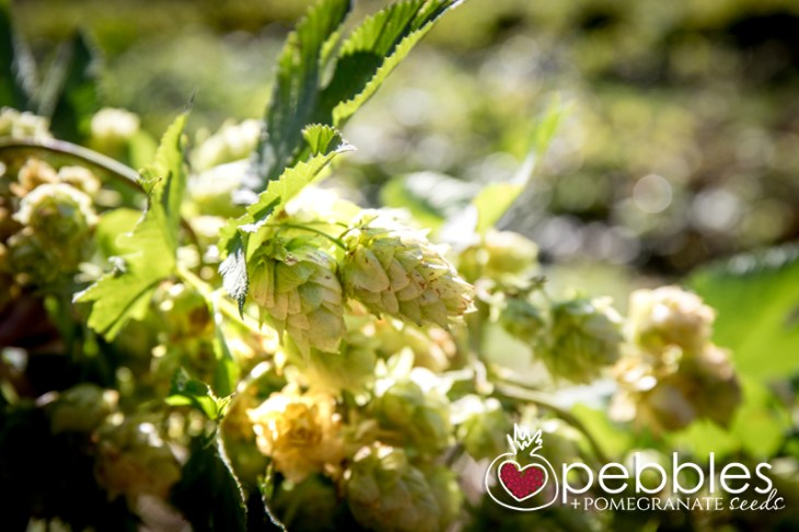 red-hill-brewery-hop-picking3