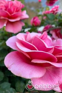 samaria-rose-farm37