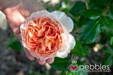 samaria-rose-farm41