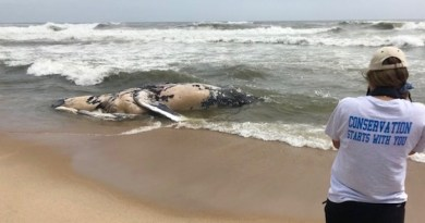 A deceased humpback was discovered whale washed up in Napeague Thursday morning. | Atlantic Marine Conservation Society photo