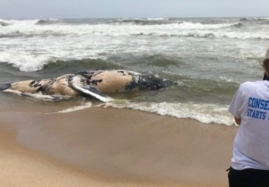 Deceased Humpback Whale Washes Up on Napeague