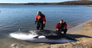 Minke Whale Stranded in Northwest Creek Dies