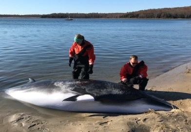 Minke Whale Stranded in Northwest Creek Dies