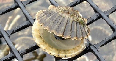 Aquaculturist Karen Rivara of Southold is working with Dr. Tettelbach to keep resilient Peconic Bay scallop broodstock alive.