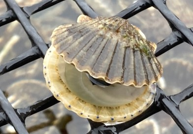 Groundhog Day for Bay Scallops?
