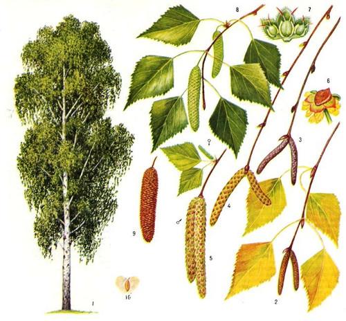 Береза - Деревья - Картинки - Альбомы - ПЕДКАБИНЕТ