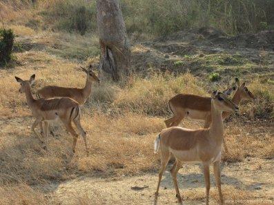 TANZANIA-Mikumi impalas