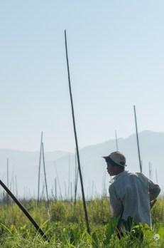 A constant gardener - Inle Lake