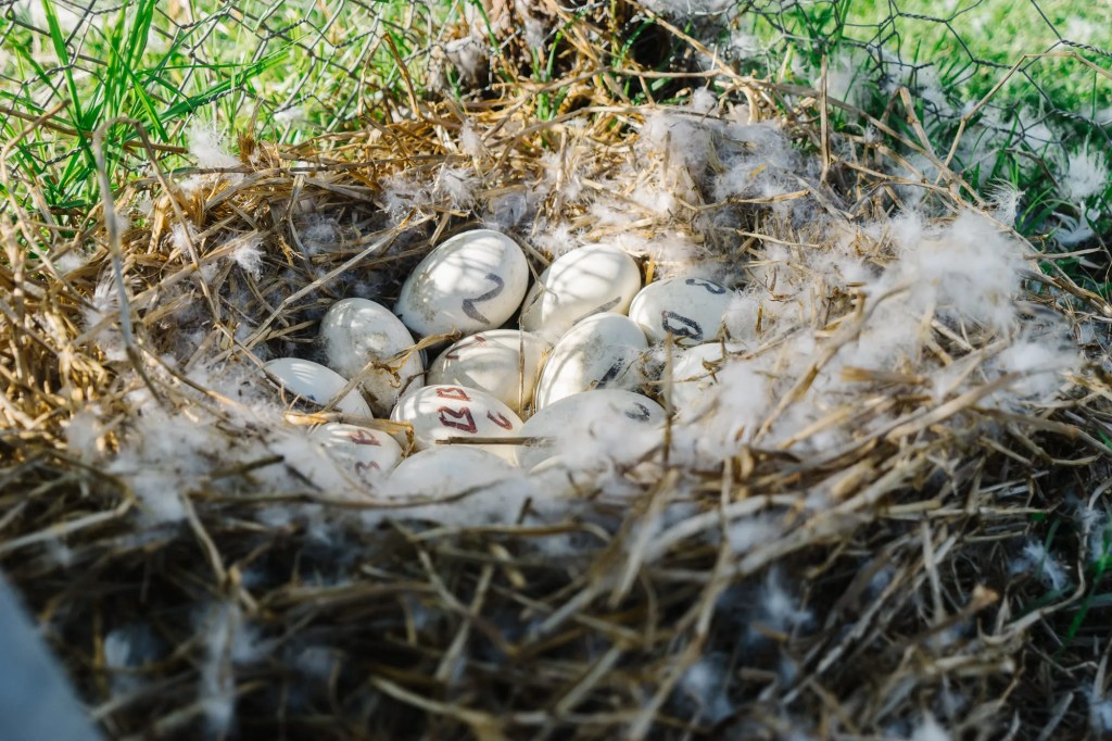 goose nest made with straw containing eggs and feathers for nesting geese tips and tricks how to blog post