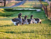 breeding geese, how to breed geese, toulouse geese
