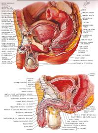 Overview of the Anatomical Structure of the Penis